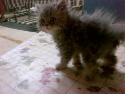قطة شيرازى عمر شهرين للبيع