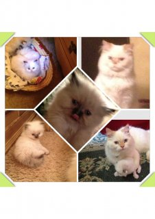 قطط شيرازي  وهيمالايا وبيكي فيس تحب اللعب والمرح