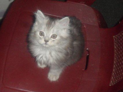 قطط شيرازى للبيع 600 ريال لظروف السفر عمر شهرين الرياض