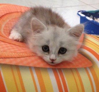 قطة عمر ثلاثة أشهر ملقحة وجمييييييييييييلة