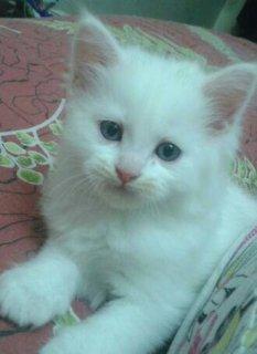 قطط شيرازى للبيع والسعر مفاجأة !!!!