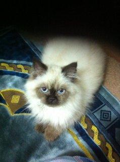 قط هملايا (ذكر) للبيع