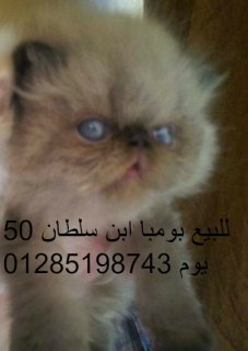 اجمل قطط للبيع والاستعلام بتليفون
