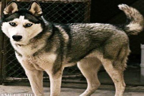 سييريان هاسكي للبيع ...  Siberian Husky for sale