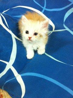 للبيع قطة شيرازي اميريكي