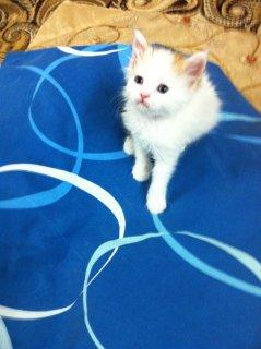 قطه للبيع شيرازي أمريكي