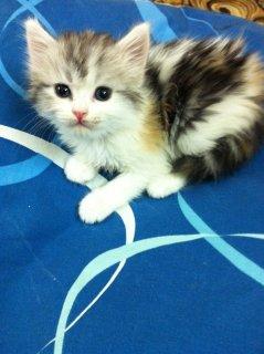 قطة شيرازي أمريكي للبيع