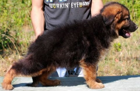 جيرمان شيبارد آصلي purebred longhaired German Shepherd Dog