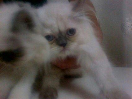 للبيع 3 قطط هملايا تشوكليت واورانج عمر 45يوم عيون زرق