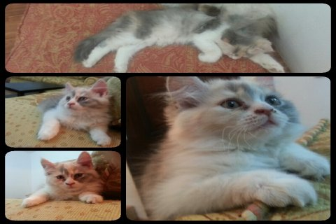 قطة شيرازية انثى وقط هيمالايا ذكر للبيع في الرياض