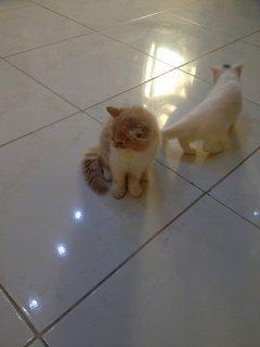 قطط(مون فيس ) للبيع