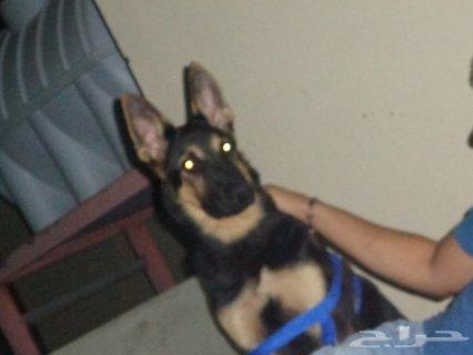 كلب جيرمن شيبرد لونج هير ورك لاين