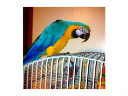 Adorable  Blue and Gold macaw Parrots For Adoption