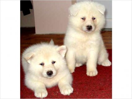 Superior Japanese Akita Pups For adoption