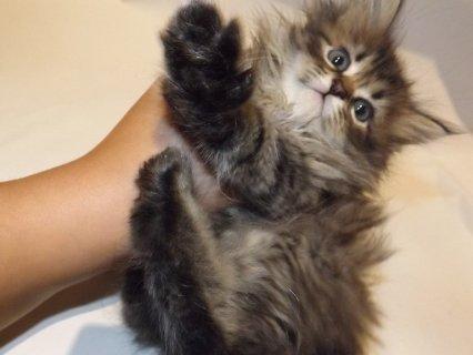 قطه انثي للبيع عمرها شهرين