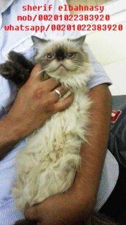 للبيع بسعر مغرى قطة هيمالايا تشوكليت بيكى زرار منتجة لونج هير