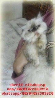 للبيع بسعر مغرى قطه هيمالايا تشوكليت بيكى زرار عمرها سنة ولسة مت