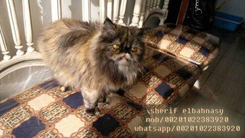للبيع بسعر مغرى جدا قطة شيرازى (تورتلا) بيكى زرار عمرها سنة