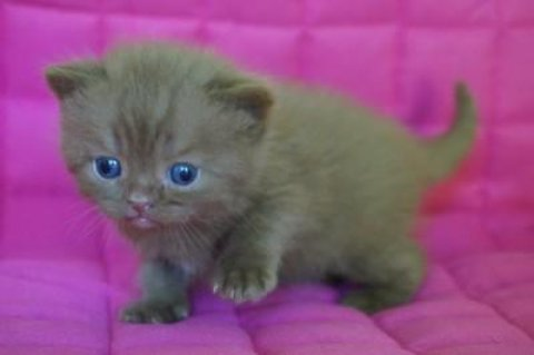 Green-eyed Rare British Kittens For Sale