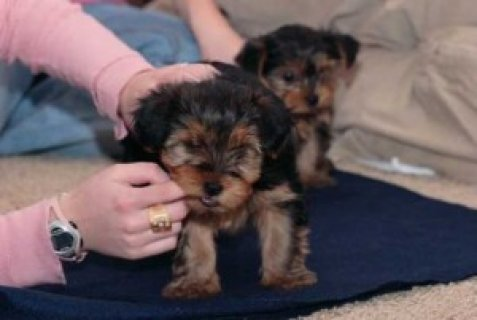 Gorgeous Teacup Yorkshire Terrier Puppies For Adoption