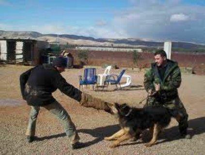 تدريب كلاب طاعه شراسه حراسه