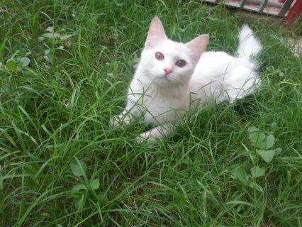 قطة امريكية شيرازية 6شهور للبيع