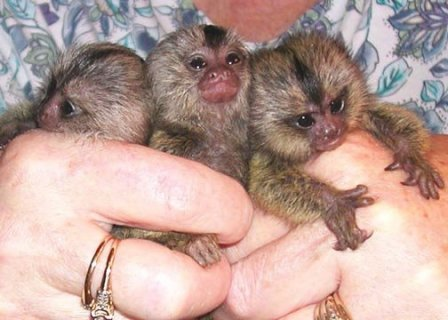 Marmoset and Capuchin monkeys