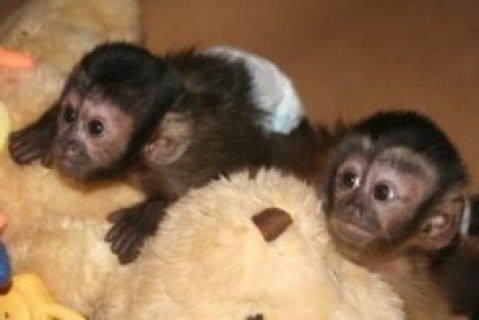 القشة قرد أميركي وتنطيط القرود