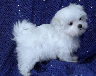 Cute Teacup male and female Tiny Maltese Puppies For Sale