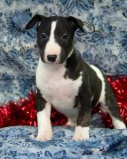 صور Bull Terrier puppies for sale 1