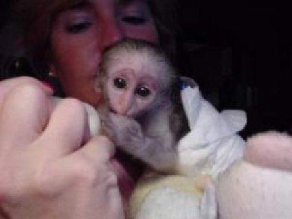 Capuchin Monkeys for Sale