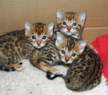 Cute Bengal Kittens For adoption