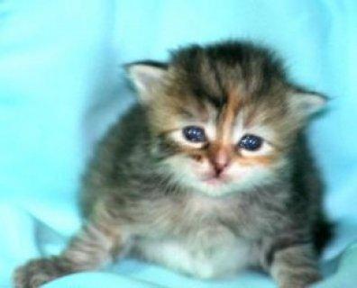 LOVELY SIBERIAN KITTENS FOR ADOPTION