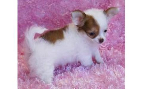 lovely Male and female Chihuahua Puppies for Sale