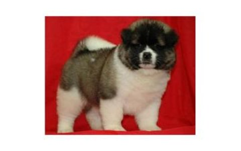sweet Male and female adorable Akita for sale