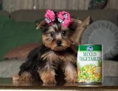 Excellent Yorkie Puppies for Adoption