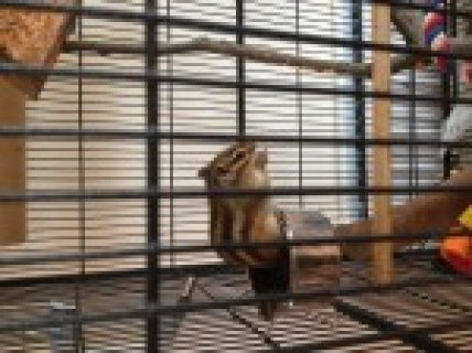 Male  and female  chipmunk available in Riyad for offer
