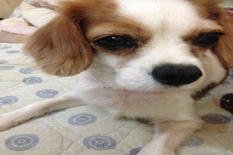 كلب شيواوا للبيع