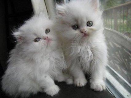Two White Persian Kittens for adoption