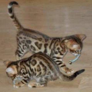 2 Charming Savannah F1 kittens Rehoming