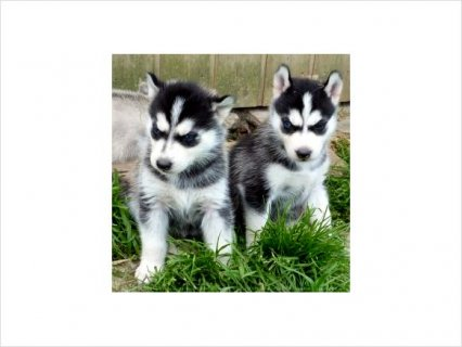 صور Affectionate Siberian husky 1