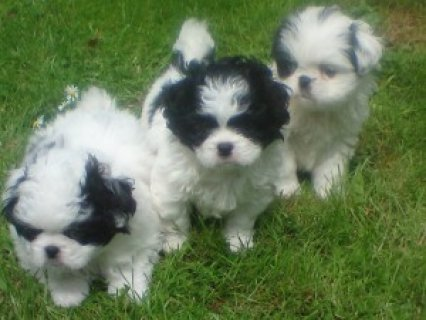 صور Beautiful JATZU(Japanese chin/shih tzu mix) Puppies for adoption 1