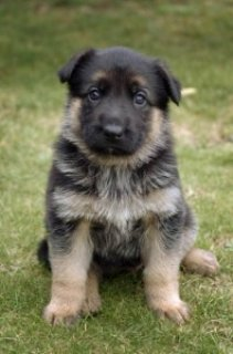 German Shepherd puppies -