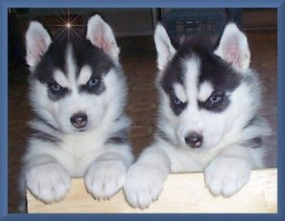 صور Siberian Husky Puppies Available 1