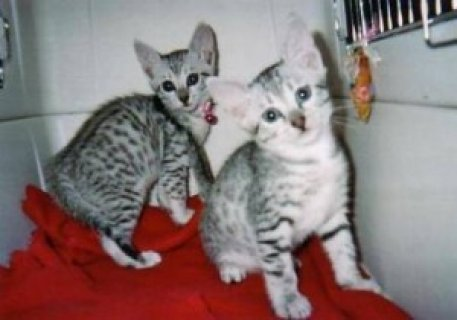 Lovely Egyptian Mau Kittens for Adoption