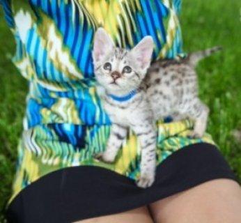 Generous F2 savanna kittens
