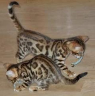 F1 savannah and Bobcat Kittens