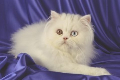 Sweet Persian kittens for re homing