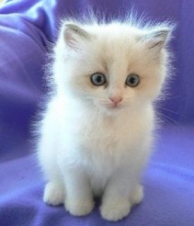 Ragdoll Kittens - Registered Pedigree