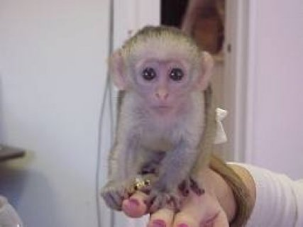 HOME RAISED FEMALE CAPUCHIN MONKEY FOR FREE ADOPTTION